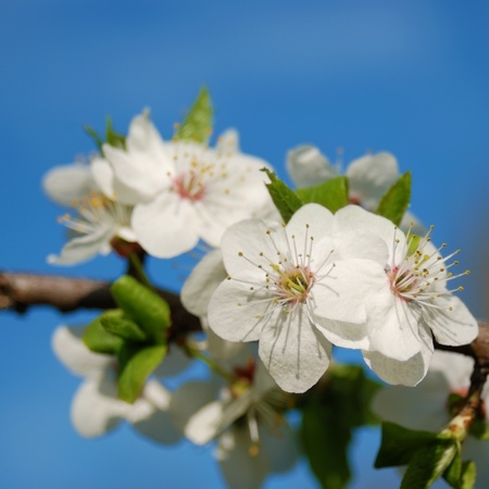Apple tree flowers on the blue sky background Stock Photo - 9290735