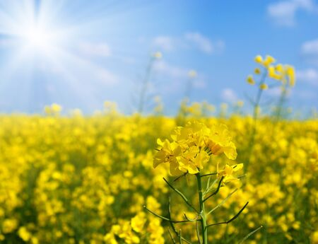 brassica: Oilseed closeup on the blurry blue-yellow background