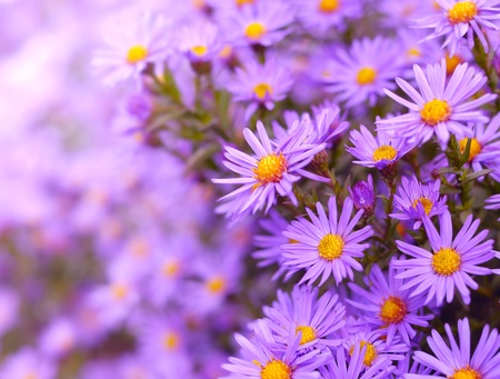 aster flowers: Magenta asters flowerbed. Shallow Depth Of Field.  Stock Photo