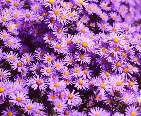 Magenta asters flowerbed. Shallow depth of field Stock Photo - 9290959