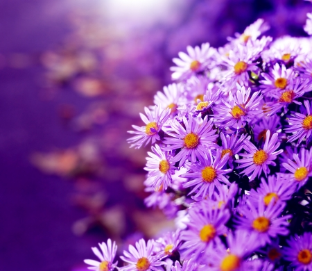 aster flowers: Magenta asters flowerbed. Shallow depth of field
