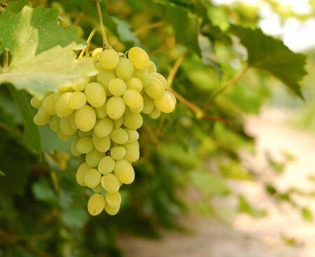 white grapes: Grapes on vine