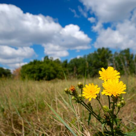 Hawkweed at the meadow Stock Photo - 9290995
