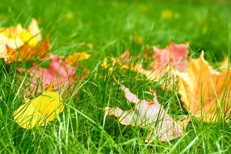 Fallen leaves on the bright green grass. Shallow depth of field photo