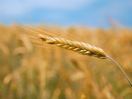 Wheat ears over blurry field background Stock Photo - 9287688