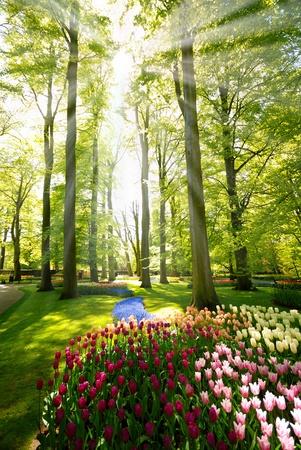 Tulips in the spring Keukenhof park, Netherlands photo