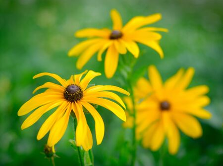 Black-eyed Susan over green background Stock Photo - 9291002