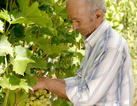 winemaker: Senior winemaker cuts twigs Stock Photo