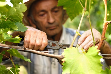 Senior winemaker cuts twigs Stock Photo