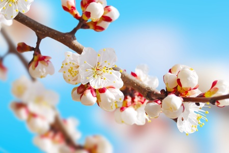 apricot tree: White apricot tree flowers on the blue sky background Stock Photo