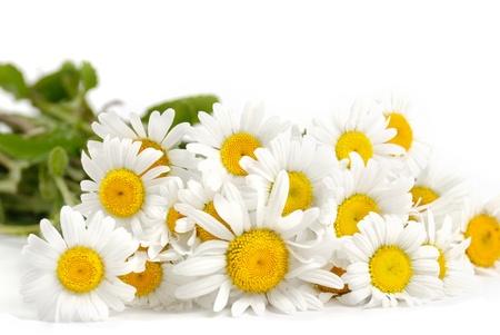 Fresh chamomile flowers on the white background