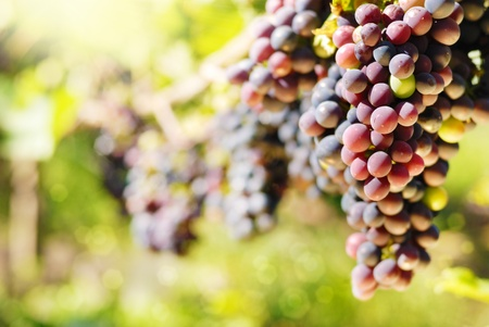Bunches of red grapes on vine