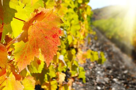 vine country: Grape leaf on grapevine closeup photo Stock Photo