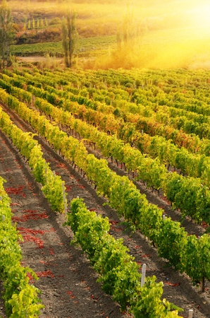 Sunset over a vineyard in the fall season Stock Photo