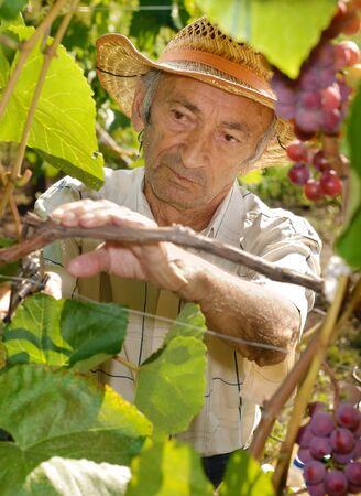 winemaker: Senior winemaker cuts twigs Stock Photo