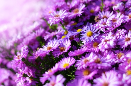 Magenta aster flowers closeup against light