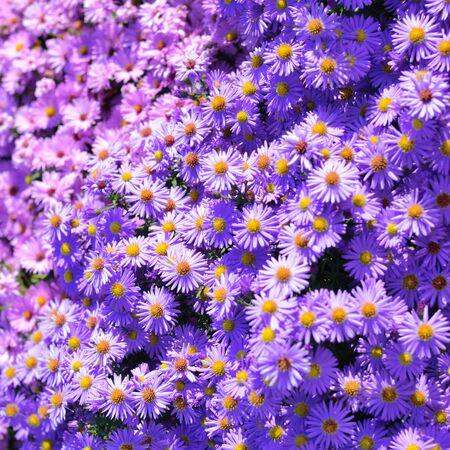 Magenta aster flowerbed under sunlight Stock Photo - 11936513