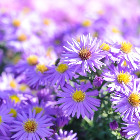 Magenta aster flowerbed under sunlight photo