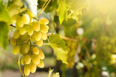 parra: Uvas verdes en la puesta del sol la vid