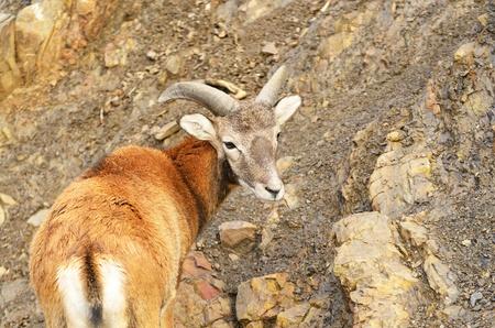 mouflon: Mufl�n joven en el fondo de piedra
