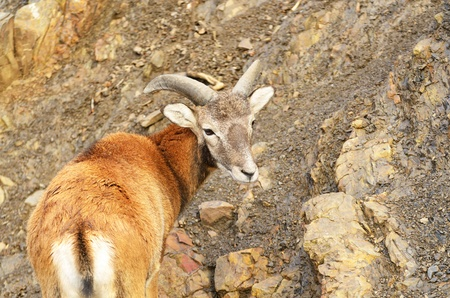 Young mouflon on stony background  photo