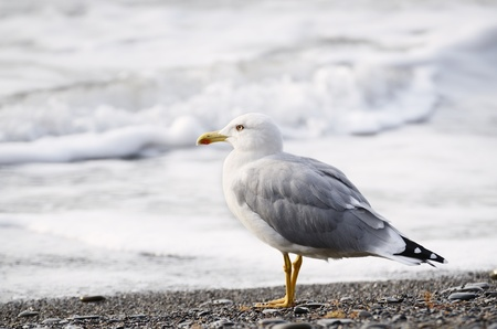 Seagull standing on the sea background photo