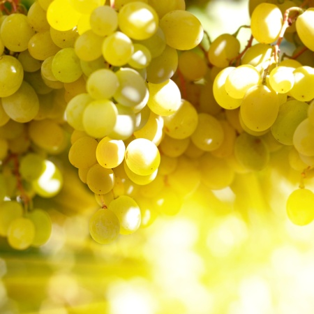 raisins: Green grapes on vine sunset time