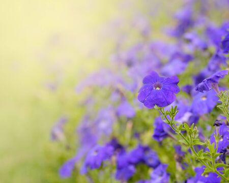 Purple petunia in spring against sunlight