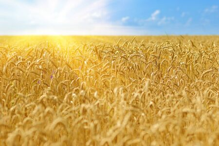 Golden wheat field under sunny blue sky Stock Photo - 13578502