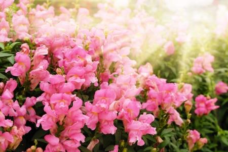 snapdragon: Snapdragon flowers closeup over light background