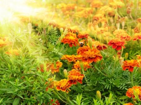 garden marigold: Tagetes flowers closeup against sunlight