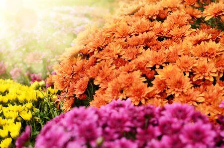 Yellow orange and purple chrysanthemum flowers background