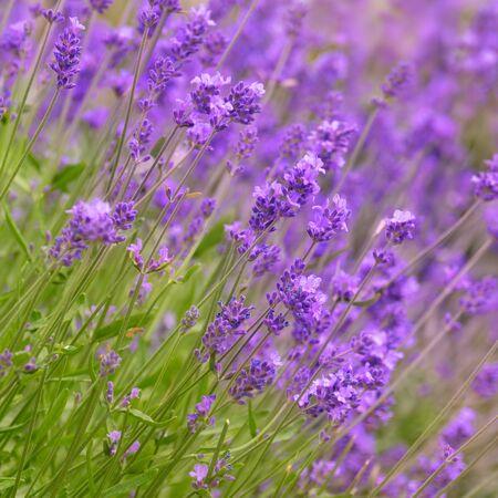 Lavender flowers bloom summer time photo