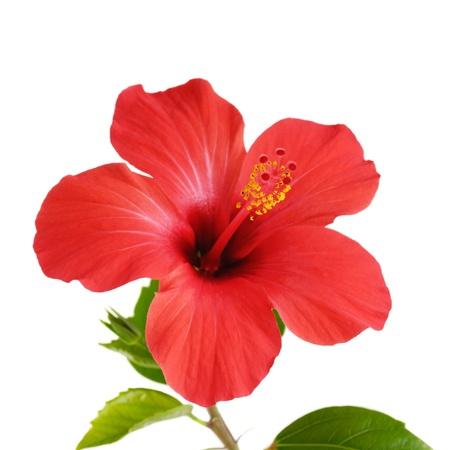 with pollen: Red Hibiscus flower head over white background