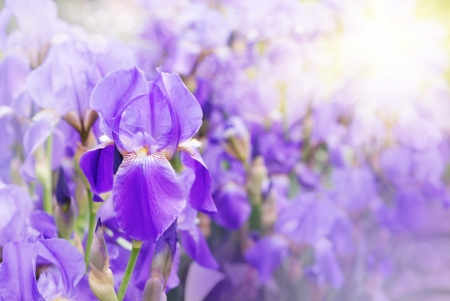 Violet iris against sunlight bright background  Stock Photo