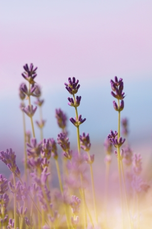 Lavender flowers bloom summer time photo