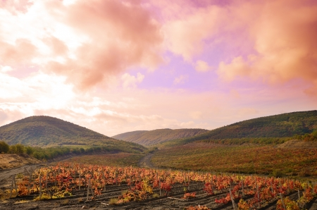 grape field: Landscape with vineyards  Mountains at background