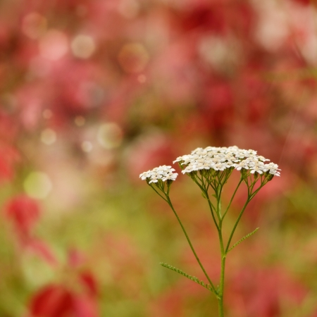 Yarrow - Achillea millefolium flowers closeup photo
