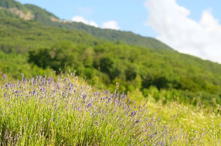Lavender field under blue sunny sky Stock Photo - 16938541