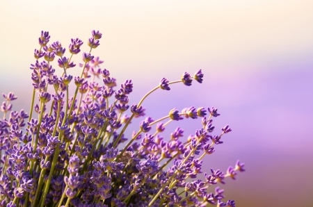 medicinal herb: Lavender flowers bloom summer time