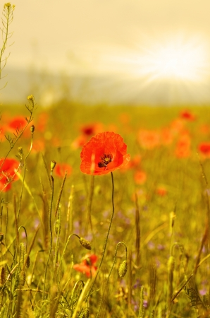 Field of poppies with sun at background photo