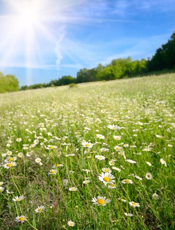 blue daisy: Field of daisy flowers under blue cloudy sky