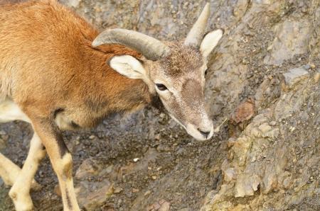 mouflon: Mufl?n joven en el fondo de piedra Foto de archivo