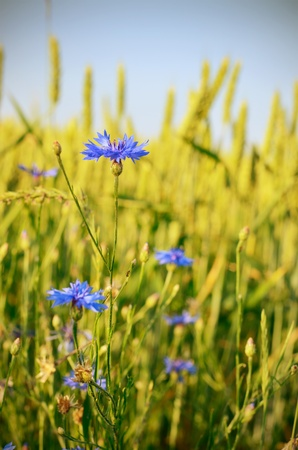 Wheat field with blue cornflowers summer time photo