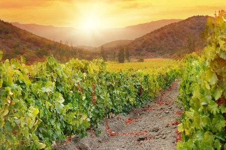 Landscape with green vineyards and Mountains photo