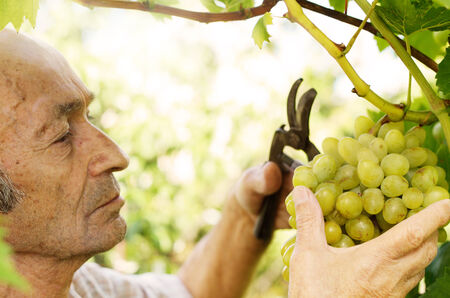 farm worker: Senior farmer with bunch of grapes at vineyard
