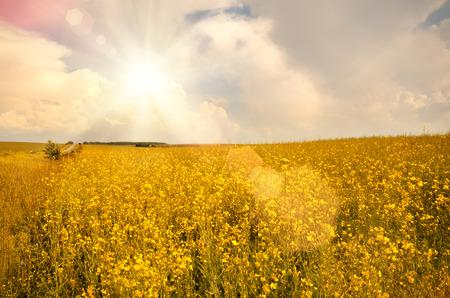 oilseed: Oilseed field under cloudy sky sunny day