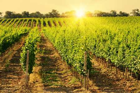 vineyard: Landscape with green vineyards. Mountains at background