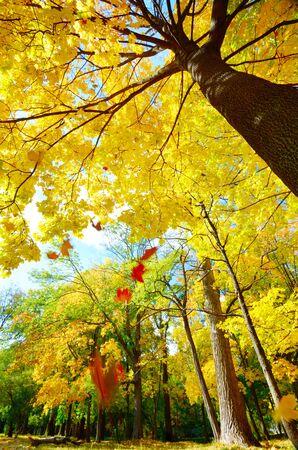 Maple leaves falling against sunlight