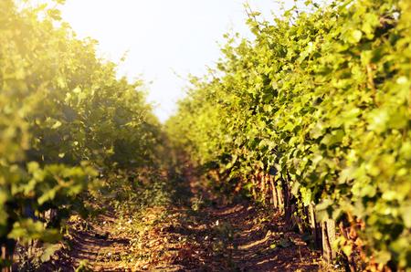 blue green landscape: Green vineyards landscape under blue clear sky